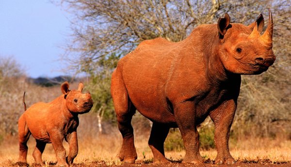 Large scale Sigfox IoT network used to protect rhinos in South Africa