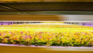 Kuwait NOX Management opens first large-scale indoor vertical farm in Middle East